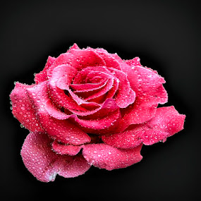 Rose Red by Abdul Rehman - Flowers Single Flower ( pakistan, natural light, iphoneography, beautiful, beauty, iphone, mother nature,  )
