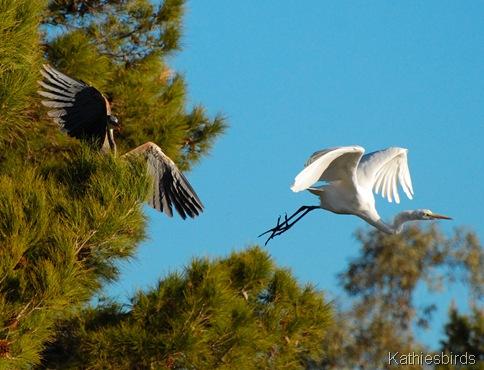 11. DSC_0056 heron n egret Tucson 2013