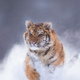 Tygr ussurijský by Ladislav Zálicha - Animals Lions, Tigers & Big Cats