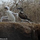 Treinando para voar - Cormorant Point - Floreana - Galápagos
