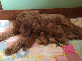Fancy & her 8 puppies