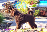 Gorgeous doodle Labradoodle in CA.