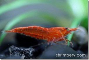 tep canh anh dao – tep do – tep sakura – red cherry shrimp