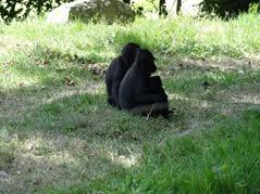 201506.21-052 macaques noirs à crête