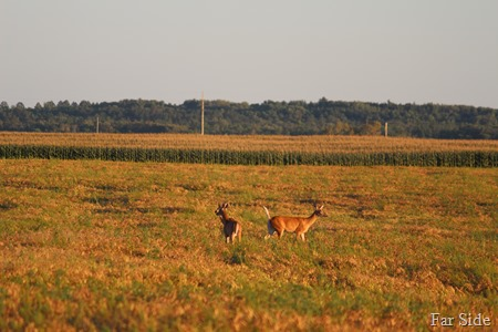Deer in the pea field