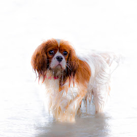 Spaniel in the water by Jenny Trigg - Animals - Dogs Portraits ( water, spaniel, lake, cavalier king charles spaniel, dog )
