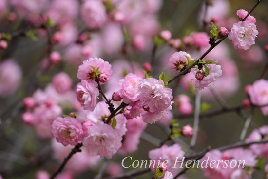 Double flowering Plum May 9