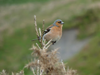 Chaffinch in Coledale.