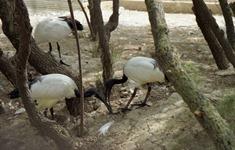 1991.08.31-099.36 ibis sacré