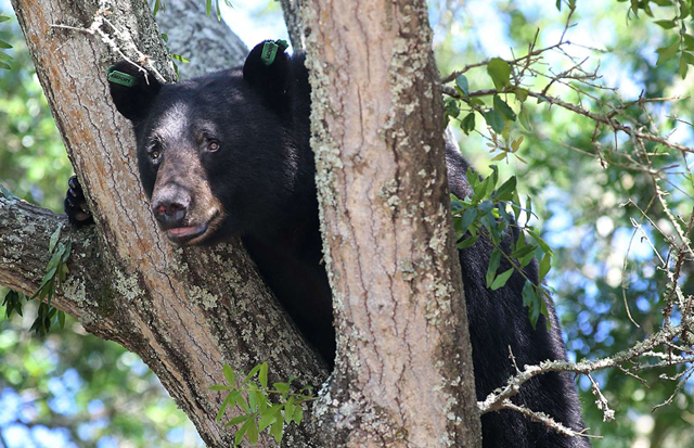 A black bear perches on a tree in Panama City, Florida. Photo: Andrew Wardlow / News Herald / AP Photo