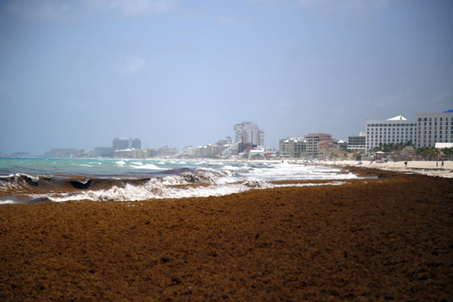 Large quantities of seaweed blanket the beach in the Mexican resort city of Cancun, Mexico, Wednesday, 15 July 2015. Photo: ASSOCIATED PRESS