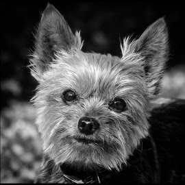 Shih Tzu by Dave Lipchen - Black & White Animals ( shih tzu )