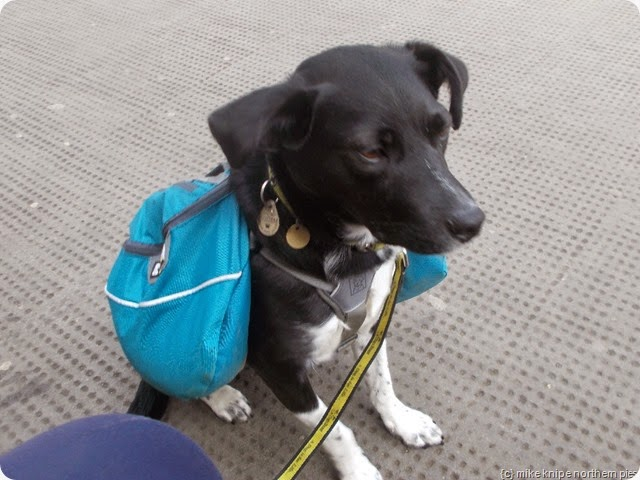 Lucky waits for the train at Corbridge