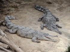2015.04.27-034 crocodiles à museau allongé d'Afrique