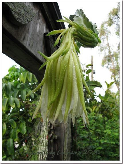 09-17-cereus