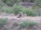 Javelina babies: dinner time 8/4