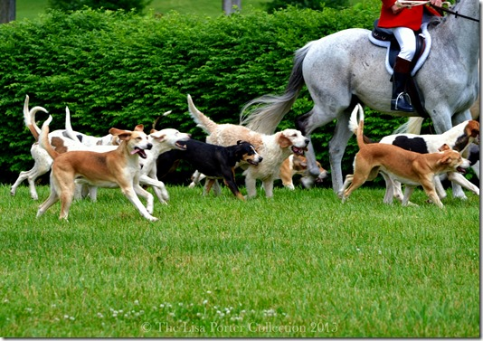 Parade of the Woodford Hounds | High Hope Steeplechase 2015 | Photo The Lisa Porter Collection