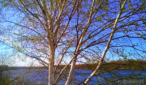 6. birch tree along the riverbank 5-8-15a