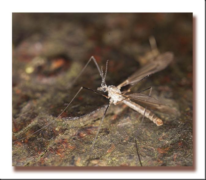 cranefly1