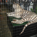 A white tiger exhibit at the Navy Pier in Chicago 01152012a