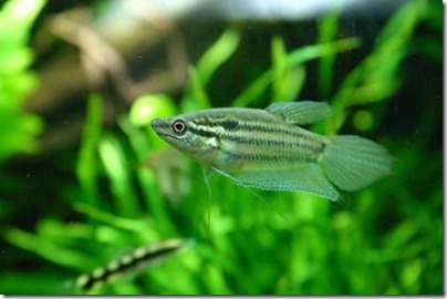 be-ca-canh-croaking_gourami_cabaitrau002-be-thuy-sinh