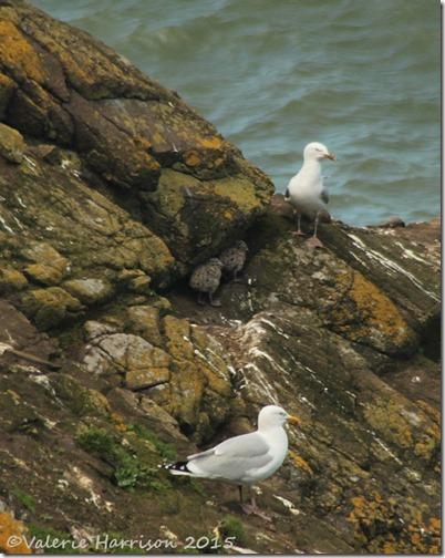 31-baby-gulls