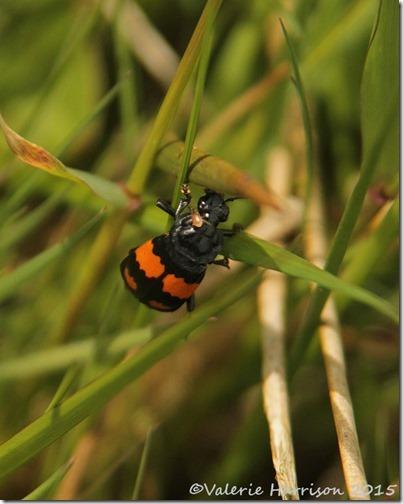 14-nicrophorus-vespiloides