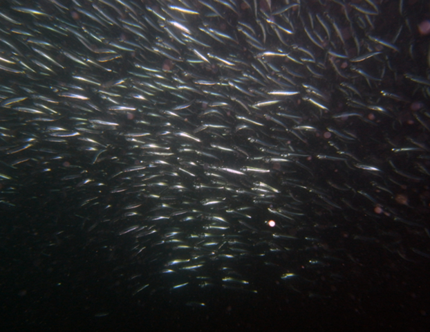 Pacific Sardine (Sardinops sagax). Photo: Herb Gruenhagen