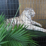 A white tiger exhibit at the Navy Pier in Chicago 01152012b
