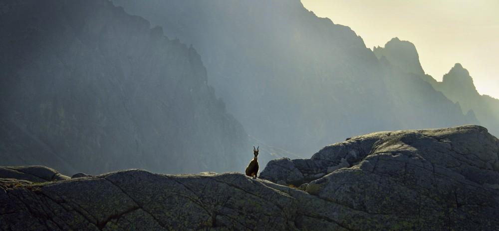 Kozice w Dolinie Staroleśnej