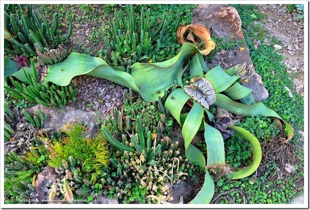 141227_Huntington_0391_Welwitschia-mirabilis