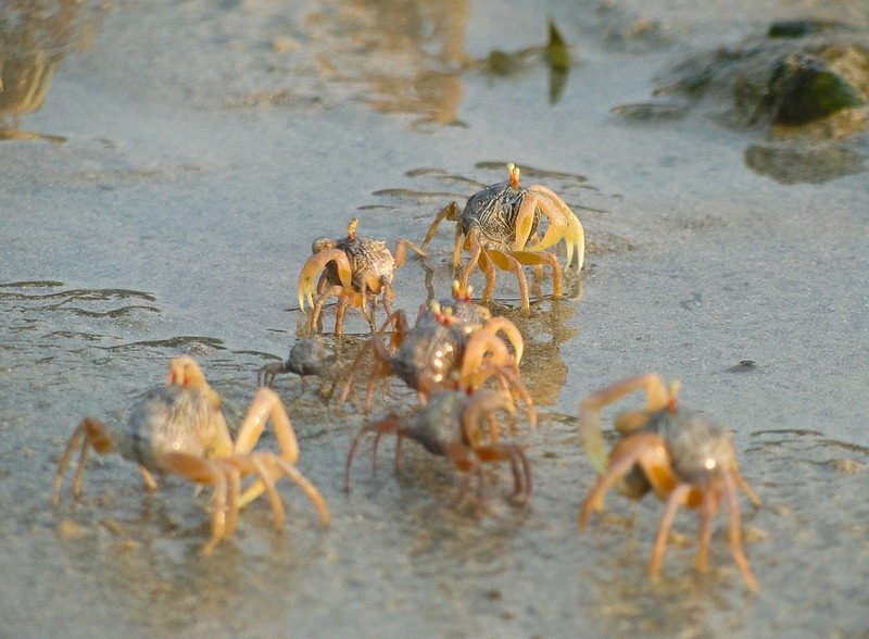 sand-bubbler-crab-17