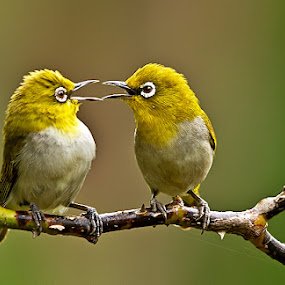 Cute Fight by Jineesh Mallishery - Animals Birds ( bird, oriental white eye, jineesh wildlife photography )