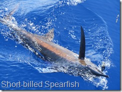 065 A Short-billed Spearfish