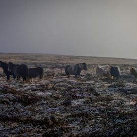 Wild Ponies by Ben Carrett - Animals Horses ( winter, hereford, ponies, frost, hay bluff, landscape, mist )