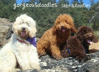 Labradoodles, cream buff,  red, and chocolate coats.  Australian Labradoodle Breeders.