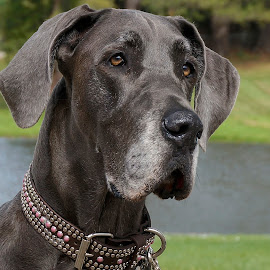 Darling Dane by Barbara Brock - Animals - Dogs Portraits ( huge dog, pet, dog had, dog, gray dog, great dane, large dog )