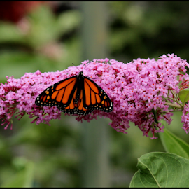 Butterfly Bush by Mina Thompson - Animals Other ( oregon, butterfly, nature, flowers, butterfly_pavillion,  )