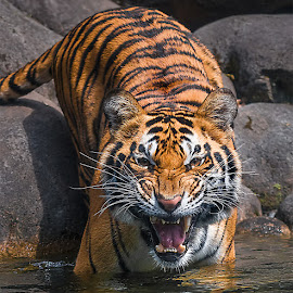 by Woe Hendrik husin - Animals Lions, Tigers & Big Cats