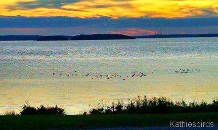20. gulls in the bay 10-6-15