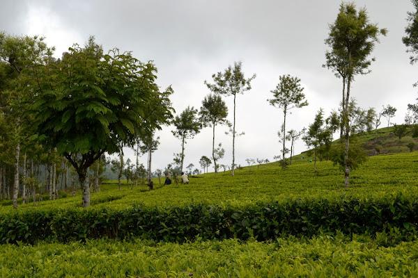 чайные плантации, шри-ланка, цейлон
