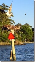 Piankatank Edwards Creek osprey 2