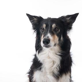 Posing is serious business by Karen Havenaar - Animals - Dogs Portraits ( studio, border collie, pet, adorable, cute, dog )