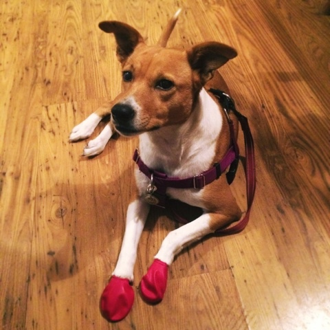 dog wearing red booties