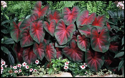 caladium in landscape