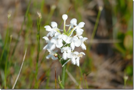 nl_doyles_hwy470_fringed_orchid