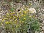 Common Dogweed, AZ Trail 4/16