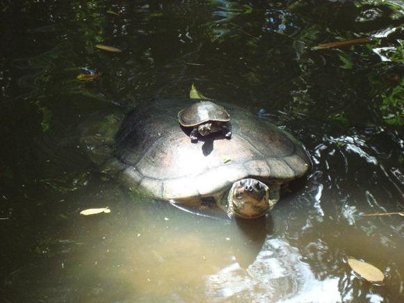 Tartaruga da Amazonia - Bosque Rodrigues Alves, Belém do Parà, fonte: Portal da Amazonia