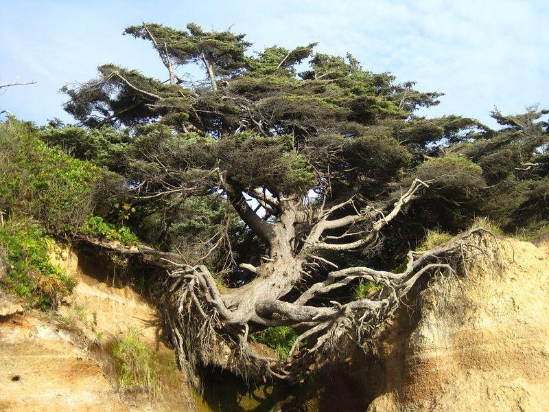 kalaloch-tree-of-life-3