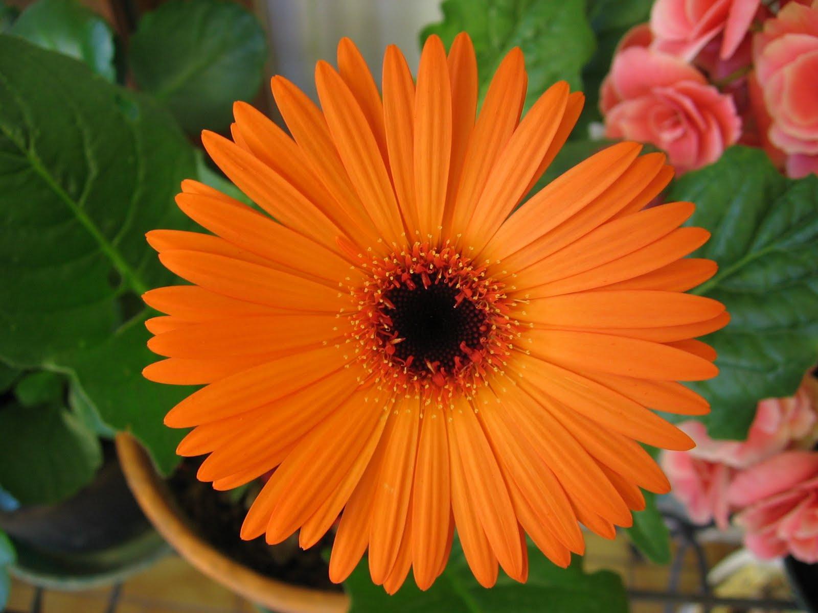 Orange Gerberas ~ Wedding